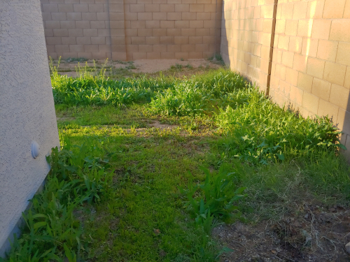 Backyard weeds and grass after mowing